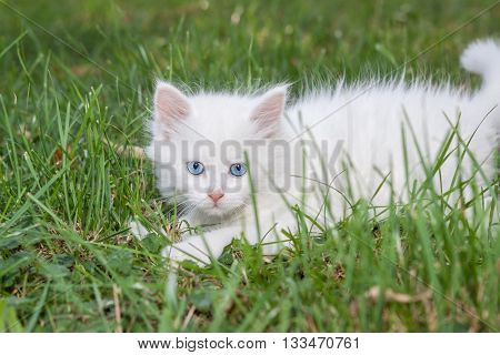 Playful kitten in the grass. With blue eyes.