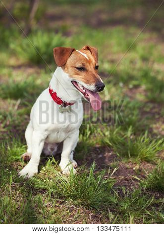 Jack Russell Terrier Dog In Green Park