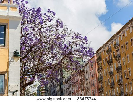 Jacaranda Trees In Blooming