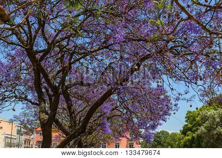 Jacaranda trees in blooming with purple flowers in european city