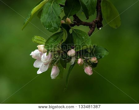 Crab apple tree blossom after rain in spring
