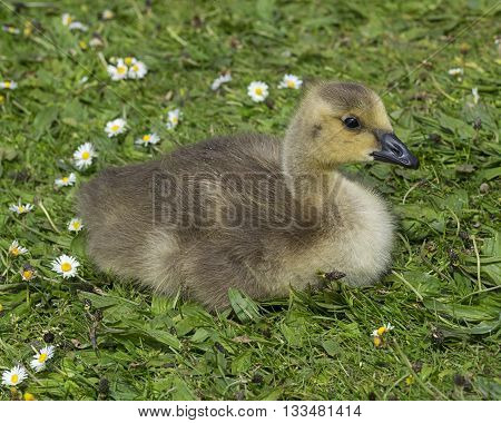 Young gosling in spring on grass with daisies