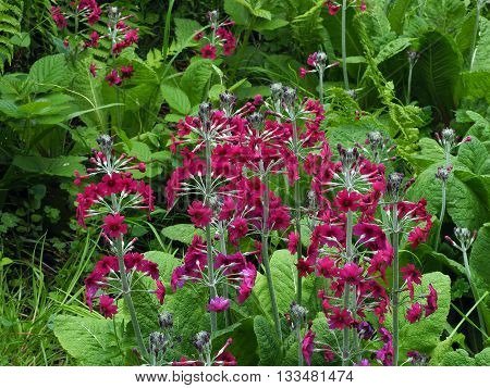 Candelabra primrose in wetland garden in spring