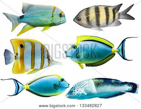 Collection of different colorful tropical aquarium fish isolated on white background
