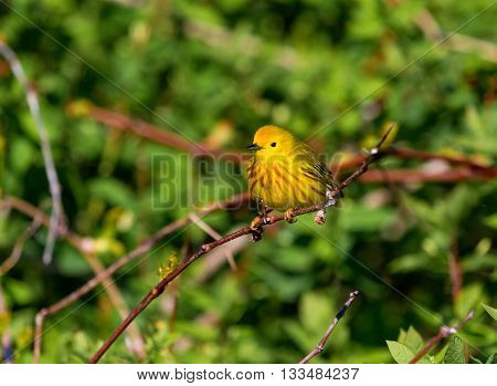Yellow Warbler Male. In summer, the buttery yellow males sing their sweet whistled song from willows, wet thickets, and roadsides across almost all of North America.