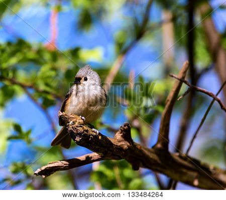 The tufted titmouse is a small songbird from North America, a species in the tit and chickadee family.