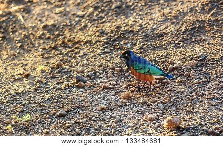 Superb Starling Bird in Masai Mara Game resort in Kenya