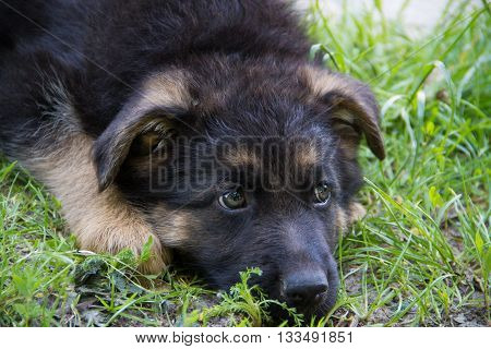 Sad Puppy German Shepherd lying in green grass