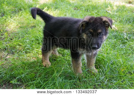 One Puppy German Shepherd in green grass