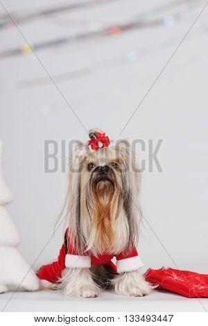 dog breed Yorkshire Terrier sits in a Santa suit Claus