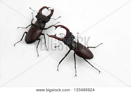 two male beetles deer on white background
