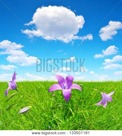 Bellflowers on spring meadow with blue cloudy sky.