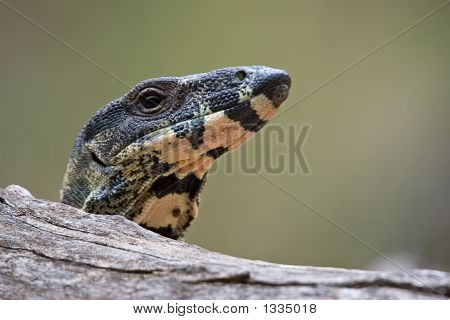 Lace Monitor Looking Over Log