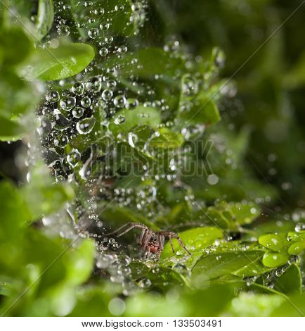 Macro of spider and its web covered by water drops after the rain