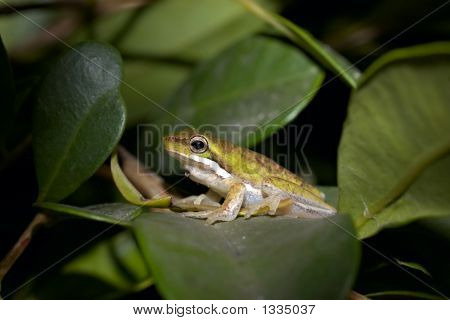 Little Litoria Fallax Frog