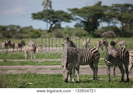Zebra Botswana Africa Savannah Wild Animal Picture
