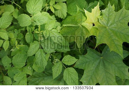 Maple leaves with five lobes normal, fairly broad (up to eighteen centimeters in diameter). The surface of the leaves is glossy