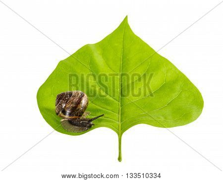 Brown snail crawling on the green leaf