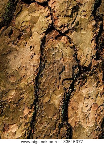 Dry cracked bark texture of pine tree. Natural detail background.