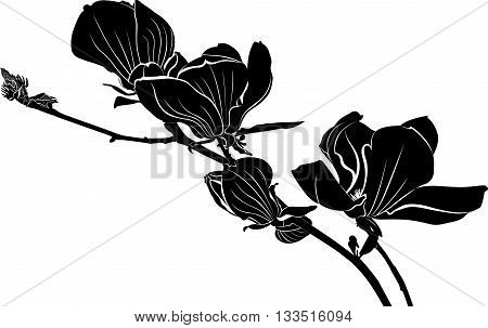 Magnolia. A branch of a blossoming magnolia. Botanical garden with magnolia trees. Flowers magnolia.magnolia flowers isolated on white background. vector illustration, sketch. Elements for design.