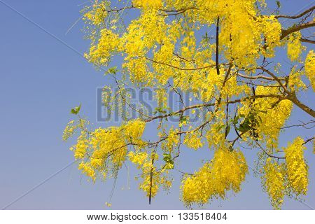 Golden Shower or Cassia Fistula in blue skynational tree of Thailand