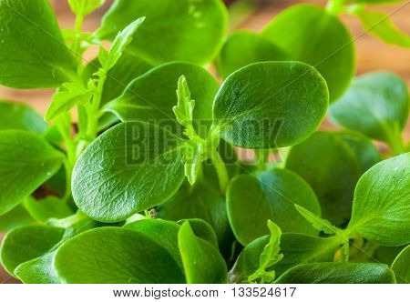 Tahoon Cress is a product harvested at the north side of the Himalayas. The young sprouts are used in dishes.