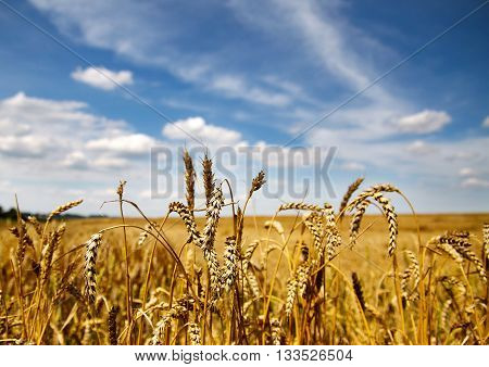 Spikelets of wheat in the summer field.
