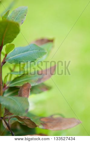 Bay tree Laurus nobilis with blurred green background shallow depth of field