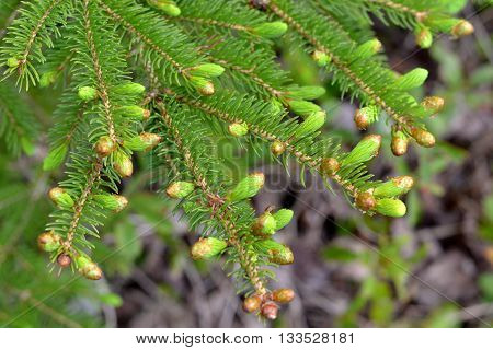 Spruce Tips; New spruce shoots opening in spring and ready for harvesting and foraging.