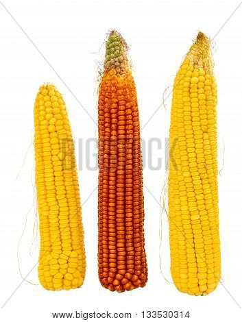 gold, maize cobs isolated on white background