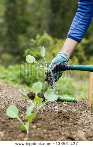 Gardener watering and fertilizing freshly planted broccoli seedlings in garden bed for growth boost. Organic gardening healthy food nutrition and diet self-supply and housework concept.
