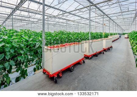 Full carts with recently harvested red peppers in the corridor of a large specilized Dutch pepper nursery.
