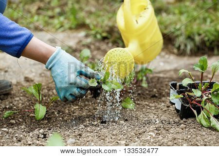 Gardener watering and fertilizing freshly planted beetroot seedlings in garden bed for growth boost. Organic gardening healthy food nutrition and diet self-supply and housework concept.