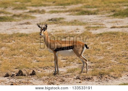 Young Male Impala in Amboseli National Park Kenya