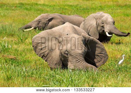 Group of elephants elephants in a pond. Shot at Amboseli national park Kenya
