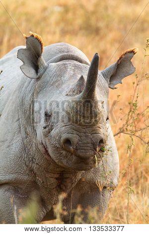 Black rhino in Nakuru Park in Kenya during the dry season. Vertical shot
