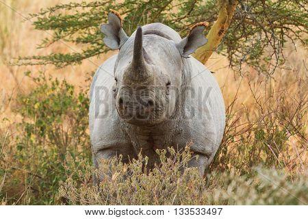 Black rhino in Nakuru Park in Kenya during the dry season. Horizontal shot