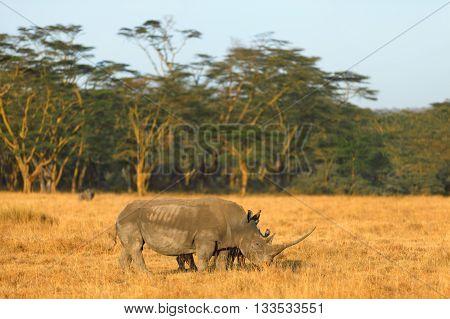 White rhino in Nakuru Park Kenya during the dry season