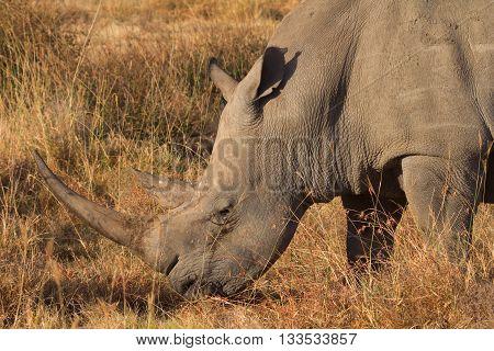 Portrait of white rhino in Nakuru Park Kenya during the dry season. Shot at sunset. Close up