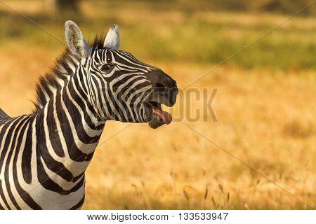 Zebra in the dry grass in Amboseli National Park Kenya