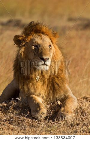 Male lion lying in the grass at sunset in Masai Mara Kenya. Shot at sunset