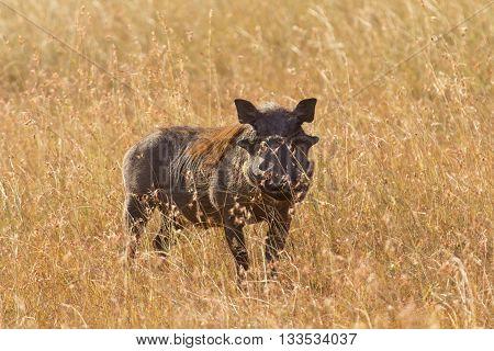 Single warthog in the grass Masai Mara Kenya