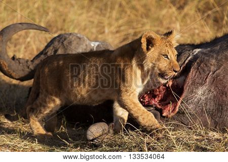 Lion cub eating a buffalo corps at sunset in Masai Mara Kenya