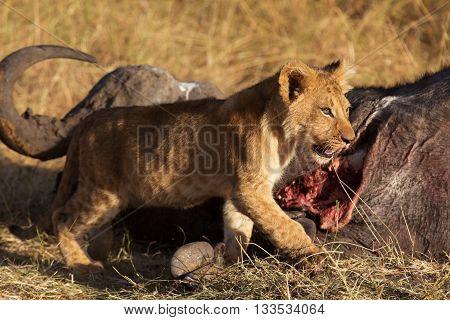 Lion cub eating a buffalo corps at sunset in Masai Mara Kenya