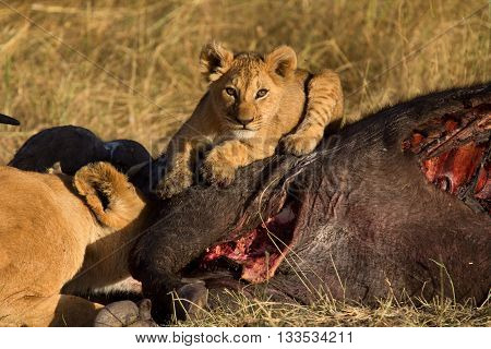 Lioness with cub eating a buffalo corps at sunset in Masai Mara Kenya