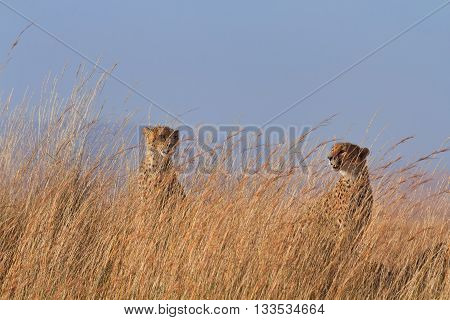 Two male cheetahs in high grass. Shot in Masai Mara Kenya.
