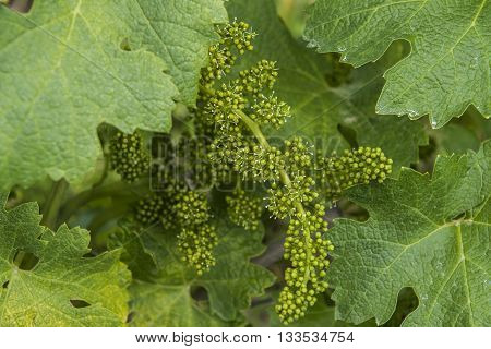 Flowers of grapevine in Piedmont Alba district Italy.