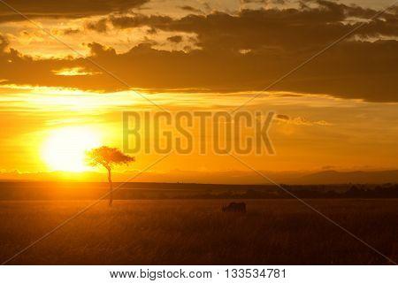 Typical african sunset with acacia trees in Masai Mara Kenya. Horizontal shot