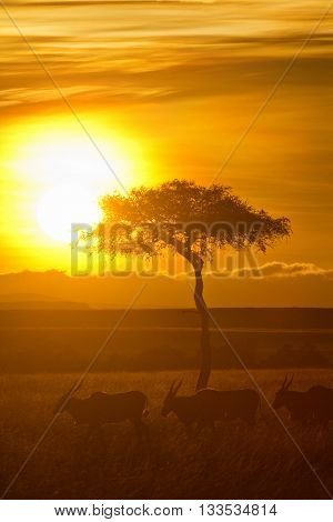 Typical african sunset with acacia trees in Masai Mara Kenya.