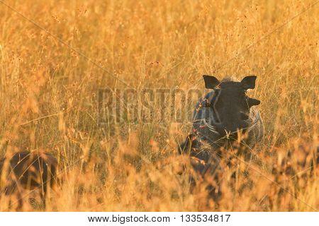 Warthog in the grass of Masai Mara Kenya